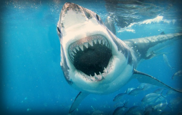 Free-Shark-Wallpaper-20